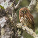 Glaucidium jardinii - Andean Pygmy-Owl - Mochuelo Andino - Buhito Andino 01 by jjarango
