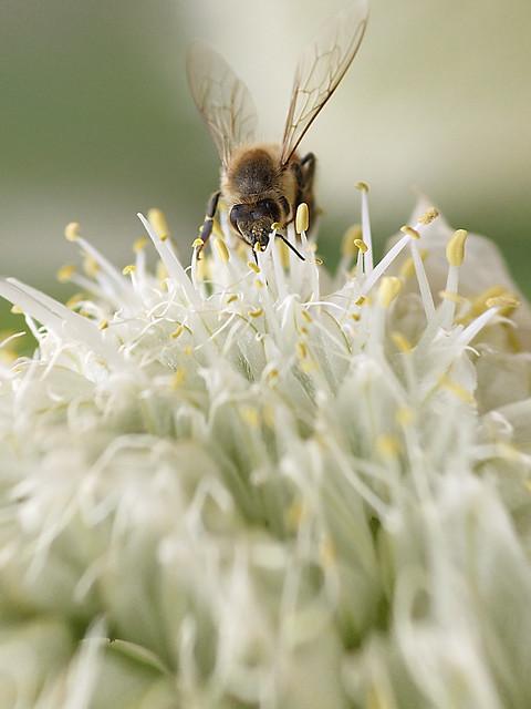 Honeybee over the Leek Flower