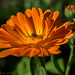 Orange Beauty by Timo Halonen