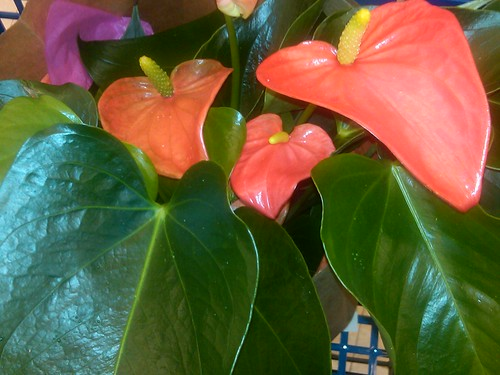 how to look after anthurium