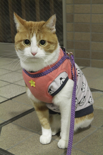 Japanese cat Chato