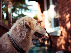 [フリー画像素材] 動物 1, 犬・イヌ, ゴールデン・レトリバー ID:201211151600