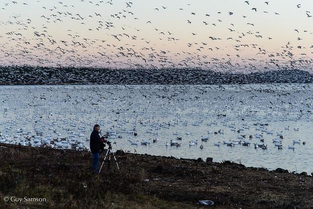 Les oies de Victo / Victoriaville's Wild Geese