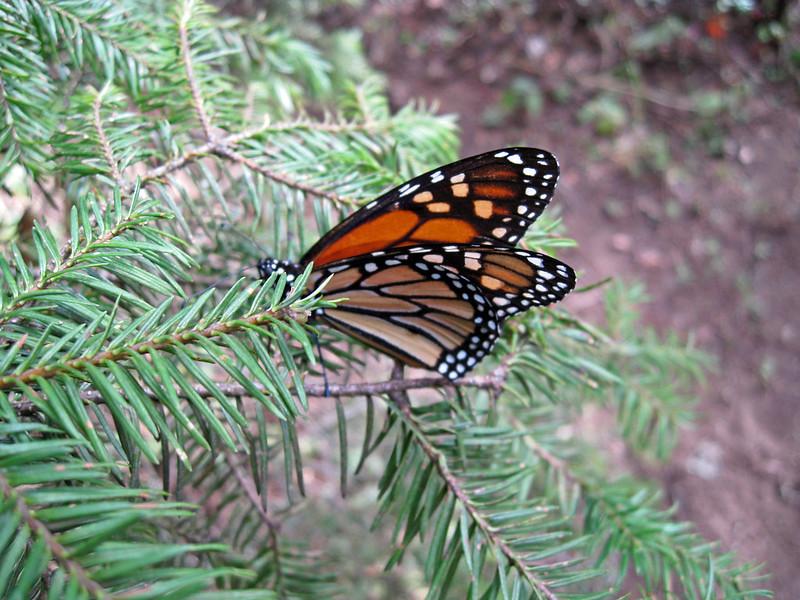 monarcas-2-1