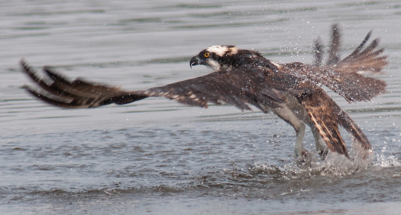 Osprey - Missed fish 2