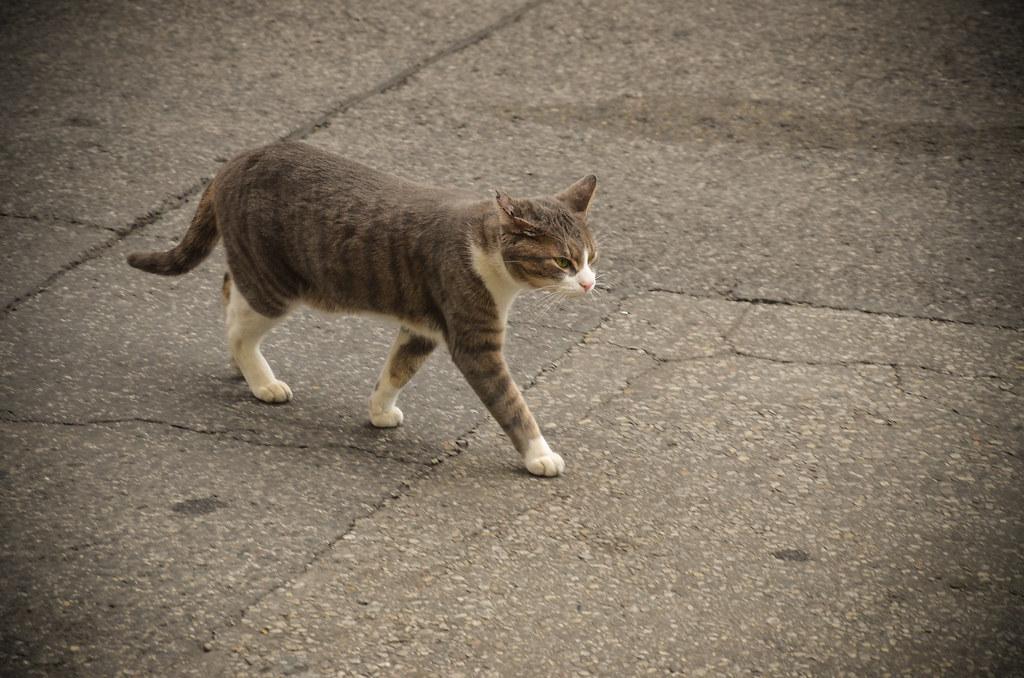 Kensington cat walking down the street