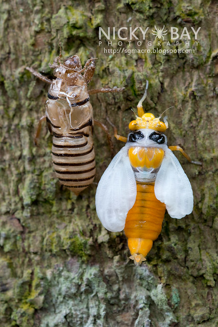 Black and Golden Cicada (Huechys fusca) - DSC_9130