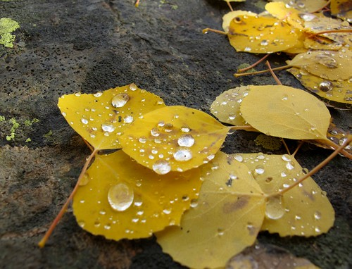 autumn wild mountain detail macro nature colors beauty yellow closeup forest outdoors colorado hiking fallcolors adventure raindrops rockymountains wilderness aspen exploration discovery aspentrees quakingaspen whiterivernationalforest maroonbellssnowmasswilderness aspenleaves populustremuloides pitkincounty coloradoautumn zoniedude1 canonpowershotg11 earthnaturelife coloradoexpedition2012