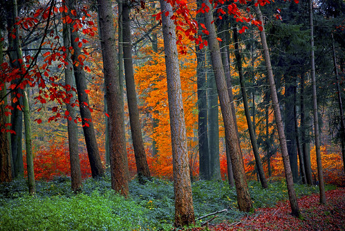 autumn trees tree fall leaves forest automne leaf foret arbre feuille foretdesoignes