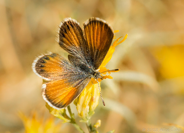 Western pygmy blue butterfly - photo#23