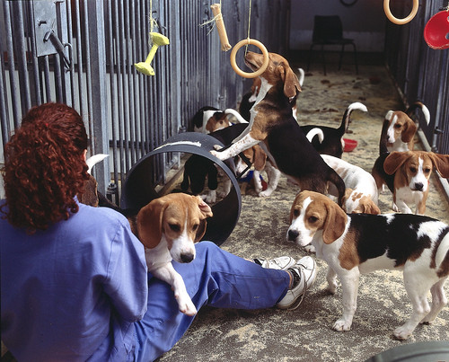 Beagle Dogs in Research for Animal Testing