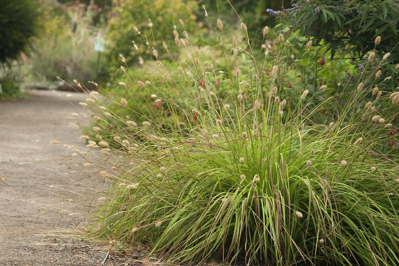 pennisetum massaicum