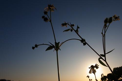 夕日に咲く花