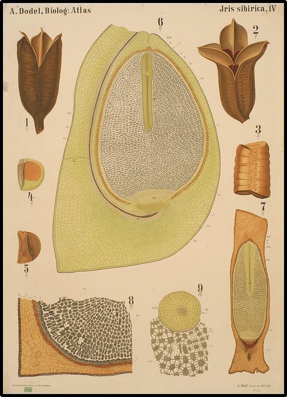 Iris sibirica IV