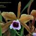 Laelia tenebrosa - cultivo Orquidário Linhares