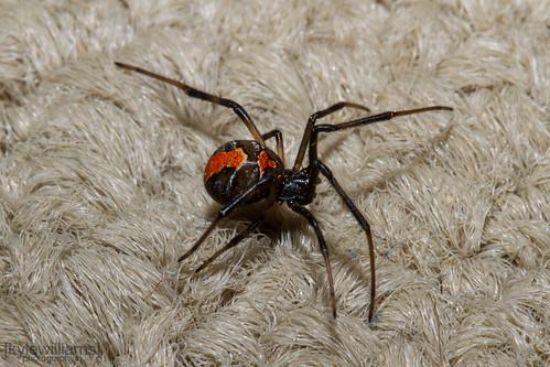 Redback Spider - Latrodectus hasselti