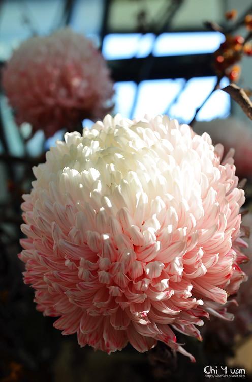 2012士林官邸菊展15.jpg