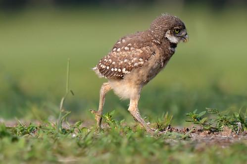 florida walk nationalgeographic birdwatcher burrowingowl babyowl