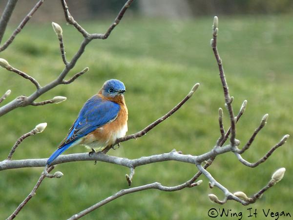 Fluffy Bluebird
