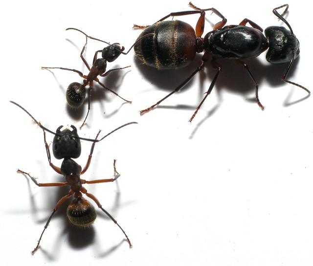 Queen black ant