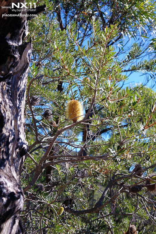 freycinet tree