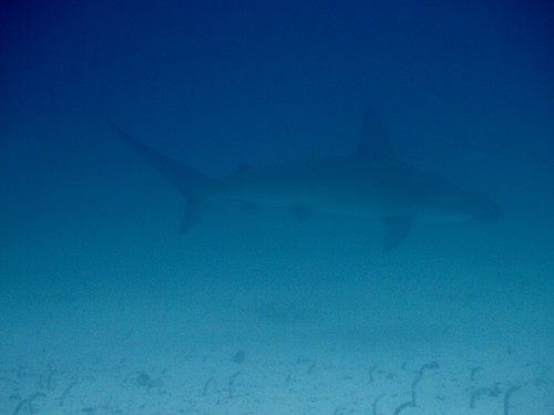 A Hammerhead shark in the Galapagos Islands, Ecuador