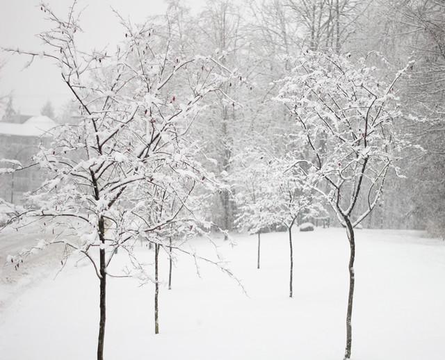 Snow, Trees, Filigree