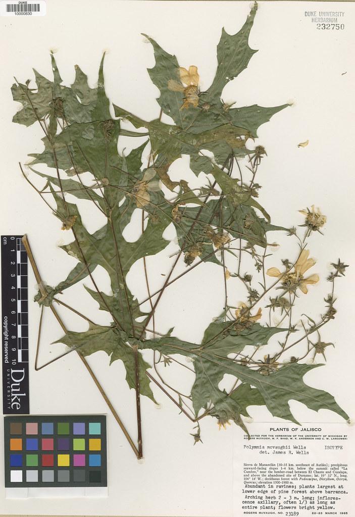 Asteraceae_Polymnia macvaughii