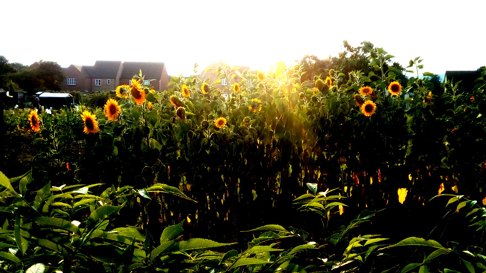 Sun and Sun Flowers The allotments Moreton-in-Marsh