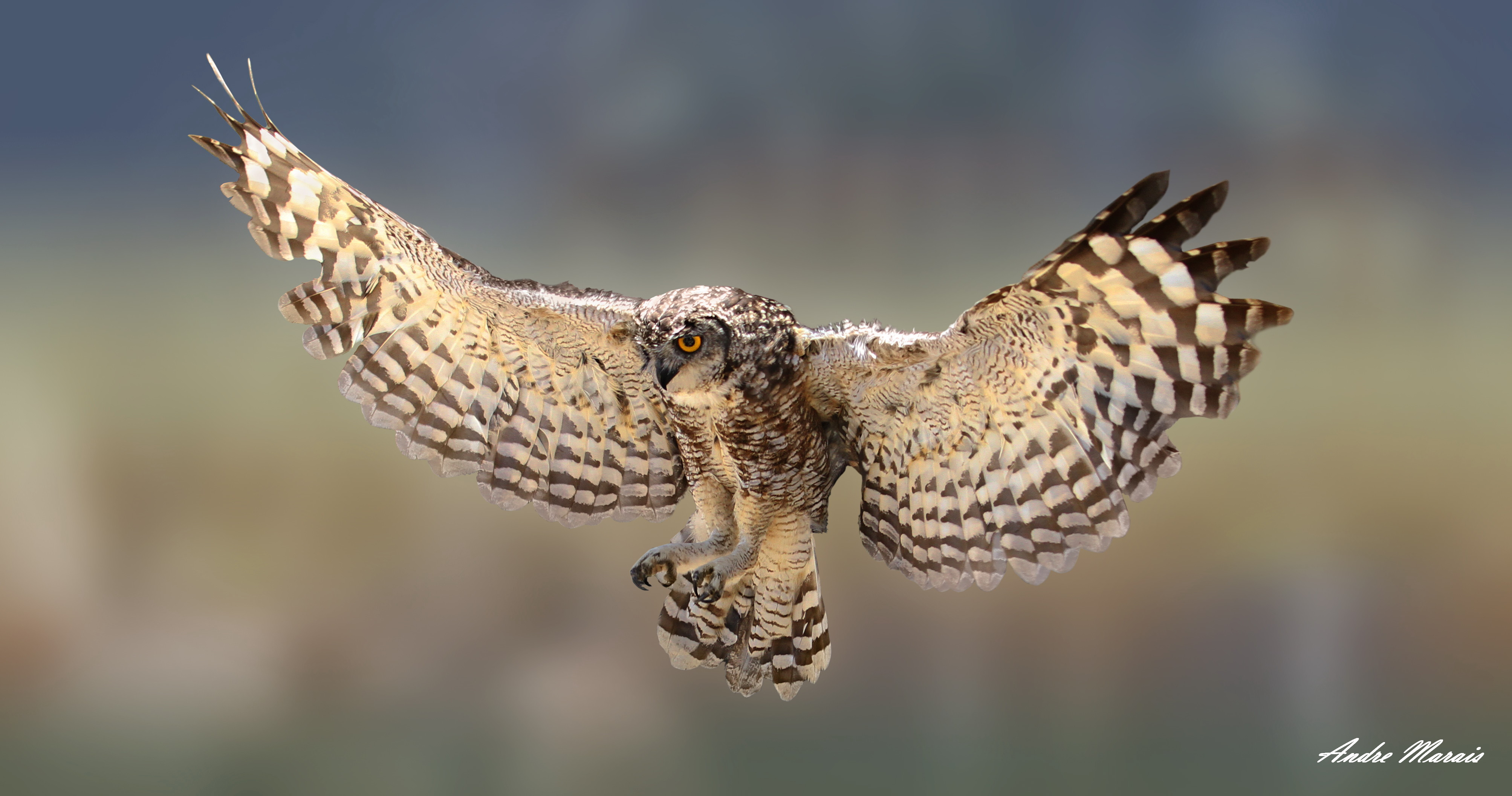 Displaying (18) Gallery Images For Eagle Owl In Flight... Eagle