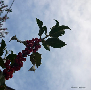 Christmas : Winter holly berries