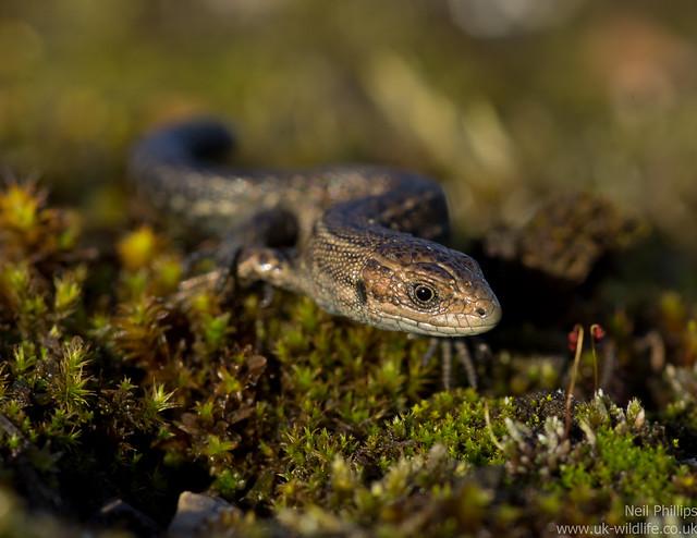 common lizard juvenile Zooteca vivipara