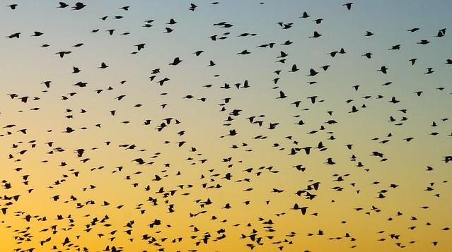 Evening Flocks