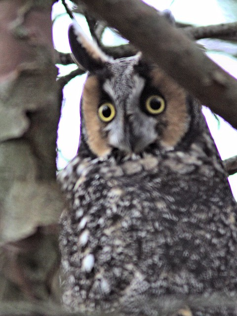 Long-eared Owl COREL 1-20121103