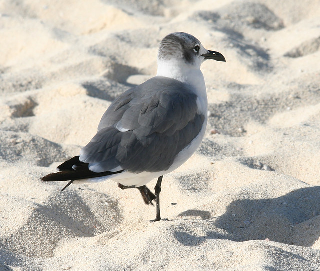 laughing gull molting adult 03