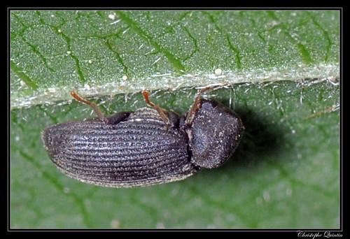 Petite vrillette (Anobium punctatum)