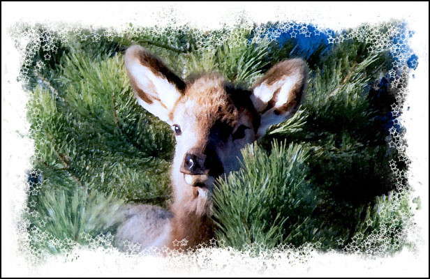 A cute baby elk peeks out from between pine boughs.