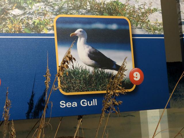 Gull ID help