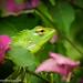 Garden Lizard (Katussa in Sinhala)