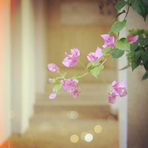 Бугенвиллия #picfx #flowers