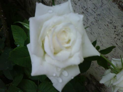 Rosa do meu jardim! by fatimalt