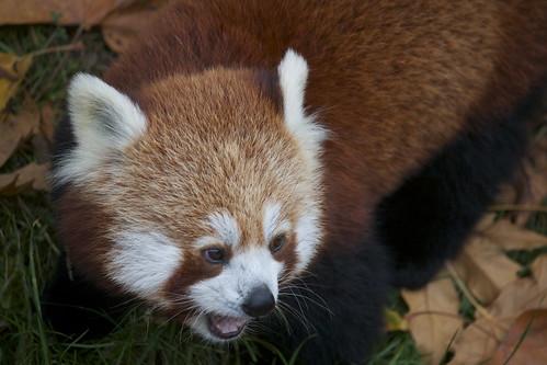 Kleine boze Rode Panda by uiltje50