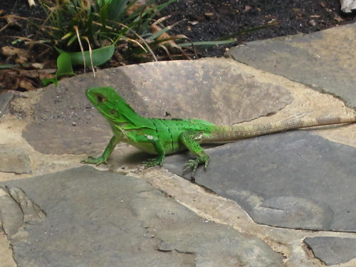Costa Rica Neon Green Lizard