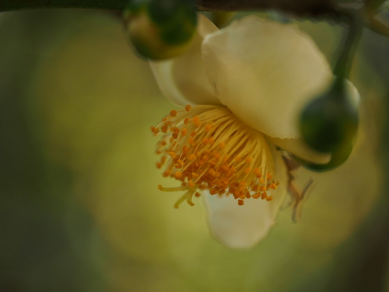 White Flower, Yellow Pollen
