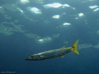 Long-finned Pike