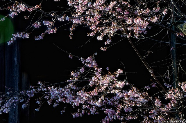「寒桜」 長谷寺 - 奈良