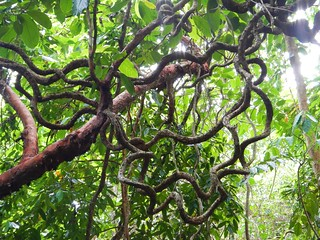 Rainforest Vine, Dubuji Boardwalk