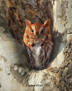 Eastern Screech Owl (Red-Morph)