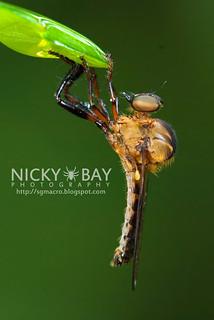 Robberfly (Asilidae) - DSC_3738