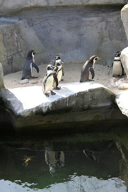 pinguins on a rock at Sea life Blankenberge